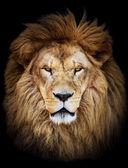 Portrét obrovské krásné mužské africký lev proti černé pozadí