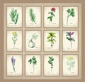 Ilustrace pikantní a léčivé byliny. kolekce čerstvé bylinky