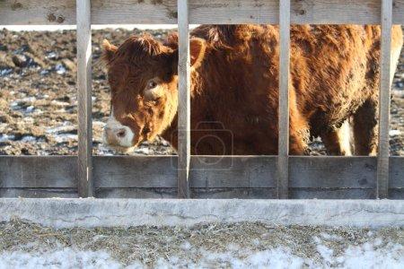 Постер, плакат: Cow in Feed Transfer Lot, холст на подрамнике