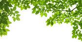 Panoramatické zelené listy na bílém pozadí