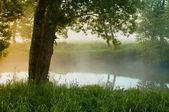 Willow ráno u řeky