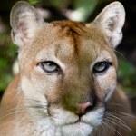 Постер, плакат: Cougar close up