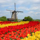 Holandský větrný mlýn nad polem tulipány