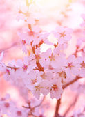 Albero bellissimo fiore, astratto sfondo floreale, ramoscelli di ciliegia con fiori bianchi freschi, dolce giardino fiorito, concetto di natura primavera