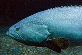 Obrovské ryby studená voda namodralý