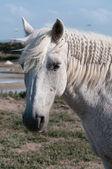 Fehér ló portré és szikes mocsár