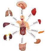 Illustrazione di anatomia umana. concetto medico. isolato su sfondo bianco