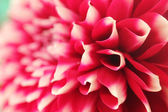 Abstract petals of pink dahlia bloom closeup(macro)