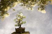 Apple strom bonsai pozadí