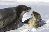 ženské tuleň Weddellův a její štěně, že vrčí