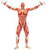 Mužské muskuloskeletální systém při pohledu vzhůru