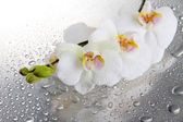 Orchidee bianche belle con gocce