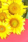 Krásné slunečnice na barvu pozadí