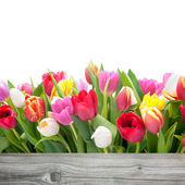 Tavaszi tulipán virágok