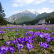 Постер, плакат: Crocuses in Chocholowska valley Tatra Mountains Poland