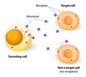 Hormones, receptors and target Cells