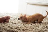 Cane chihuahua carino giocando sul tappeto del salotto con una corda