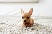 Cane chihuahua carino giocando sul tappeto del salotto e guardando la telecamera