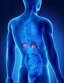 Mellékvese férfi anatómia hátsó röntgen megtekintése