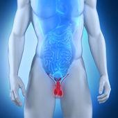 Férfi nemi szervek anatómiai