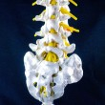 Постер, плакат: Spine model vertebra model