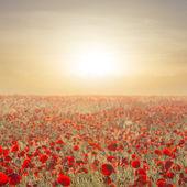 Early morning red poppy field