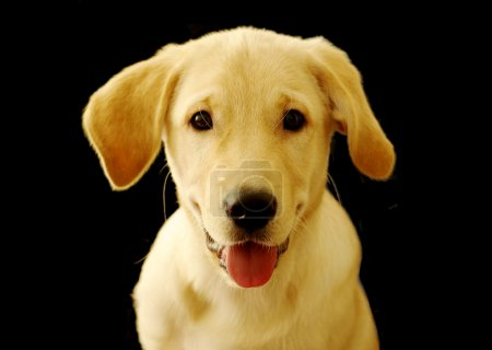 Cute labrador retriever puppy over black