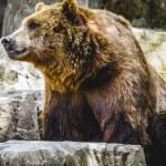 Постер, плакат: Furry brown bear