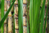 Cukornád növény közelről