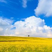 Yellow flowers green field, lonely cypress tree and blue cloudy sky