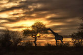 African giraffe eating in sunset