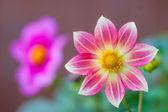 Fiore di cardo rosa con sfondo di fiori viola