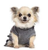 Cucciolo di Chihuahua, 4 mesi, seduto, vestito e guardando la telecamera su sfondo bianco