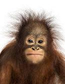 Detail mladé Bornejský orangutan čelí, při pohledu na cam