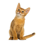 Abyssinian kitten sitting, looking up, alert, 3 months old, isol