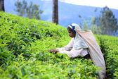 Female tea picker in tea plantation