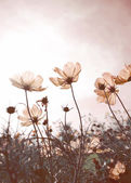 Vintage Cosmos flowers in sunset time