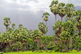 Cukrové palmy obklopené rýžové pole