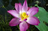 čerstvý Růžový lotos