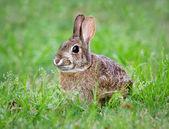 Divoký králík jíst trávu
