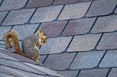 Eichhörnchen auf dem Dach