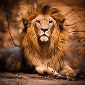 Foto di leone guardando la telecamera