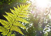 Fern in sunlight
