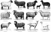 Různých plemen koz a ovcí. vydání knihy meyers konversations-lexikon, svazek 7, Lipsko, Německo, 1910