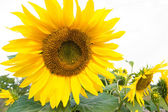 Izolované slunečnice bush