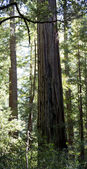 A Stand of Sequoia Redwood Trees in Sunlight.