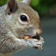 ������, ������: Grey squirrel eating a peanut