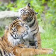 Постер, плакат: Two tigers together