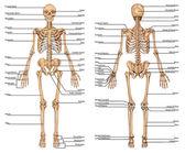 Scheletro umano dalla vista anteriore e posteriore - Consiglio didattico di anatomia del sistema osseo umano
