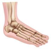 Illustrazione del piede